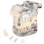 SODIAL(R)modele modele de dent dentaire modele de soins prothese dentaire medecin Demo dentaire K67 de la marque SODIAL image 2 produit